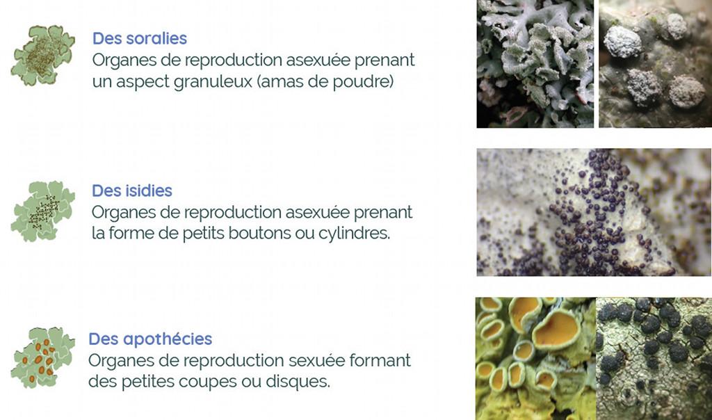 Organes de reproduction asexuée chez les lichens