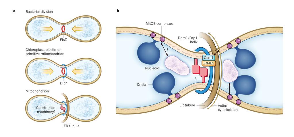 Divisions de organites cellulaires