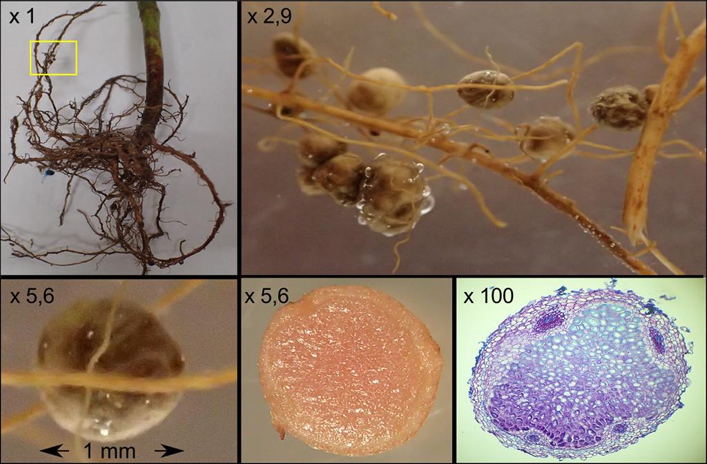 Des nodosités d'une légumineuse (Fabacée) associées à des bactéries Rhizobium