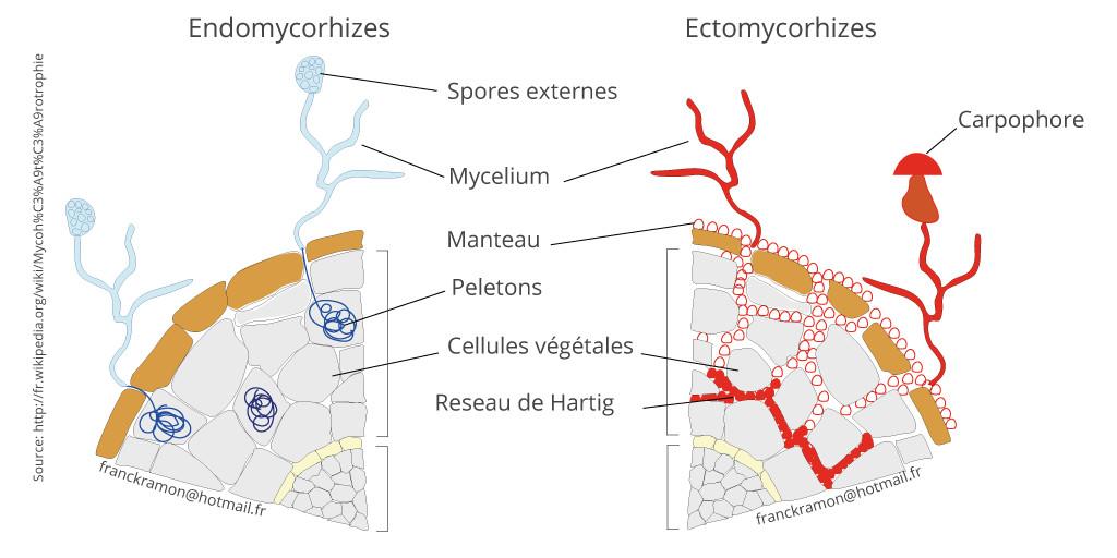 Endomycorhizes et ectomychorhizes