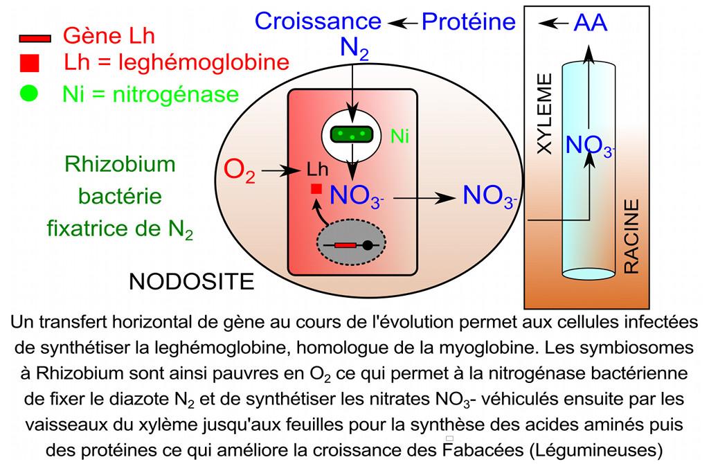 Fixation de l'azote par les nodosités