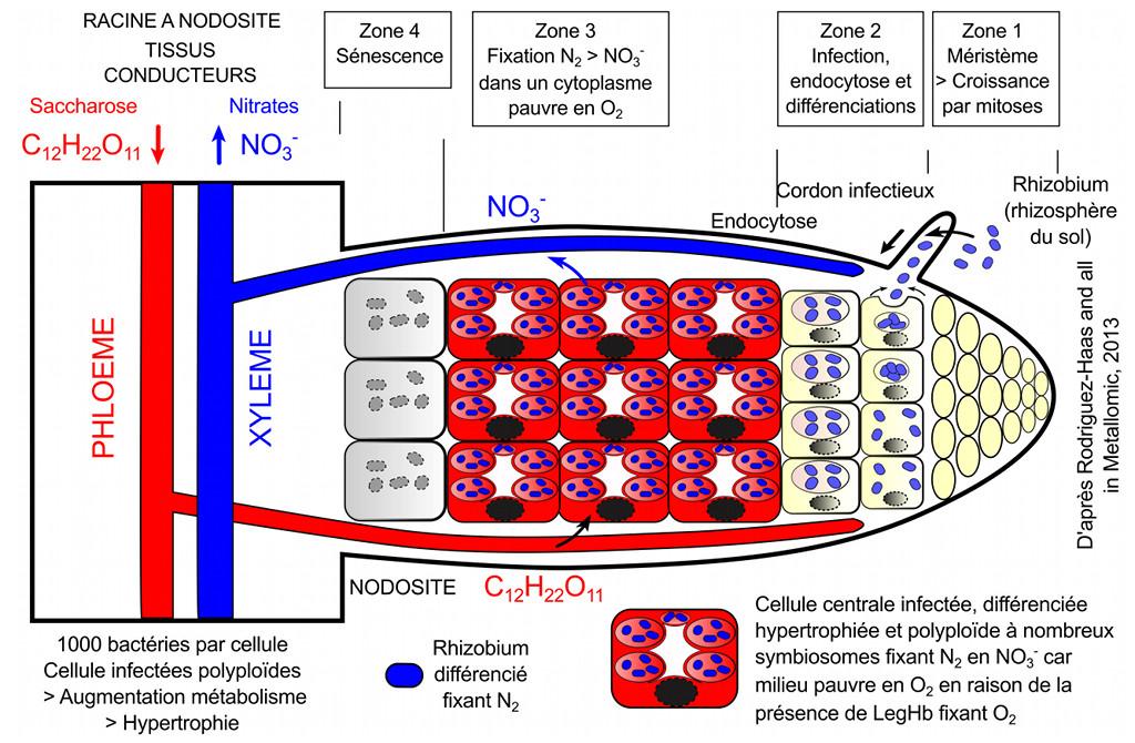 De l'infection à l'endosymbiose de la bactérie Rhyzobium par des cellules racinaires