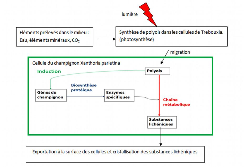 La synthèse de substances lichiniques
